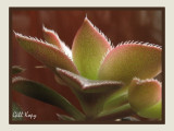 Pinwheel Cactus.jpg