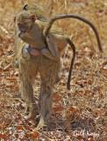 Baboon hitching.jpg