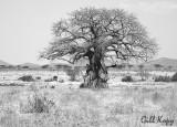 Baobab BW.jpg