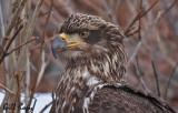 Bald Eagle2.jpg