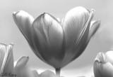 BW Tulip.jpg