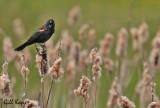 Tri coloured blackbird2.jpg