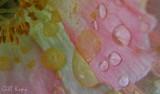 Poppy droplets2.jpg