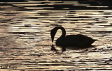 Evening Swan.jpg