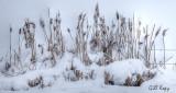Snowy Reeds.jpg