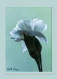 White carnation2.jpg