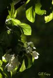 Apple Blossoms2.jpg
