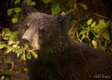 Wet bear.jpg