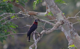 Purrle-throated Fruitcrow