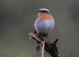 Rufous breasted chat