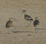 H. Whimbrel  W.Willet
