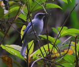 Blue-gray Tanager Amaz
