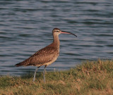 Whimbrel N. hudsonicus