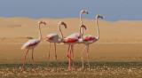V-Sahara Greater Flamingo