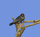 Red-footed Falcon 8501.jpg