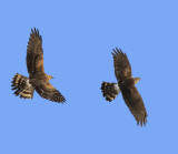 Pallid Harrier & Hen Harrier