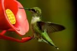 Hummingbird 1018 1.jpg