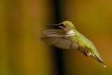 Hummingbird 1010.jpg