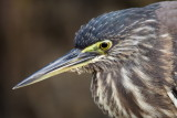 Striated Heron / Mangrovehejre, CR6F1816 15-12-2010.jpg