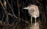 Striated Heron / Mangrovehejre, CR6F2044 15-12-2010.jpg