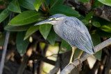 Striated Heron / Mangrovehejre, CR6F2057 15-12-2010.jpg