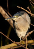 Striated Heron / Mangrovehejre, CR6F3637 18-12-2010.jpg