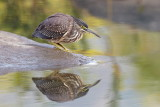 Striated Heron / Mangrovehejre, CR6F3695 18-12-2010.jpg