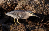 Striated Heron / Mangrovehejre, CR6F4697 19-12-2010.jpg