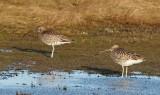 Eurasin Curlew / Stor regnspove, CR6F2073 13-01-2012.jpg