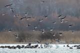 Greylag Goose / Grågås, CR6F6840 30-01-2012.jpg