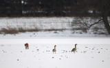 Greylag Goose / Grågås, CR6F0795 04-02-2012.jpg