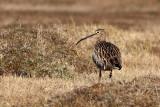Eurasian Curlew / Stor regspove, Læsø, CR6F1292 07-04-2012.jpg