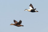 Common Eider / Ederfugl, CR6F2308 19-04-2012.jpg