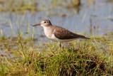 Common Sandpiper / Mudderklire, CR6F6378 21-05-2012.jpg
