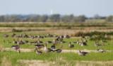 Greylag Goose / Grågås, CR6F8943 25-08-2012.jpg