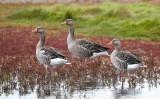 Greylag Goose / Grågås, CR6F9443 01-09-2012.jpg