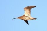 Eurasian Curlew / Stor regnspove, CR6F252711-11-2012.jpg