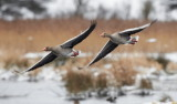 Greylag Goose /  Grågås, CR6F297422-01-2013.jpg