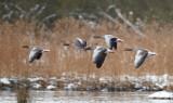 Greylag Goose /  Grågås, CR6F459923-01-2013.jpg