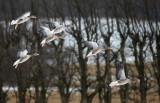 Greylag Goose / Grågås, CR6F620028-01-2013.jpg