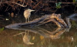 Striated Heron / Mangrovehejre, CR6F901022-12-2012.jpg