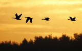 Greylag Goose / Grågås, CR6F881606-02-2013.jpg