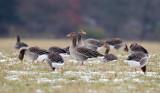 Greylag Goose / Grågås, CR6F048513-02-2013.jpg
