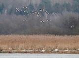Greylag Goose / Grågås, CR6F056614-02-2013.jpg