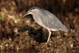 Striated Heron / Mangrovehejre, CR6F306402-01-2013.jpg