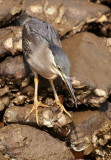 Striated Heron / Mangrovehejre, CR6F318503-01-2013.jpg