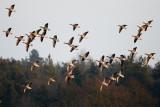 Greylag Goose / Grågås, CR6F149625-02-2013.jpg