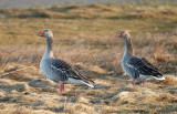 Greylag Goose / Grågås, CR6F016903-03-2013.jpg