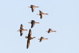 Greylag Goose / Grågås, CR6F250615-03-2013.jpg
