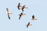 Greylag Goose / Grågås, CR6F250715-03-2013.jpg